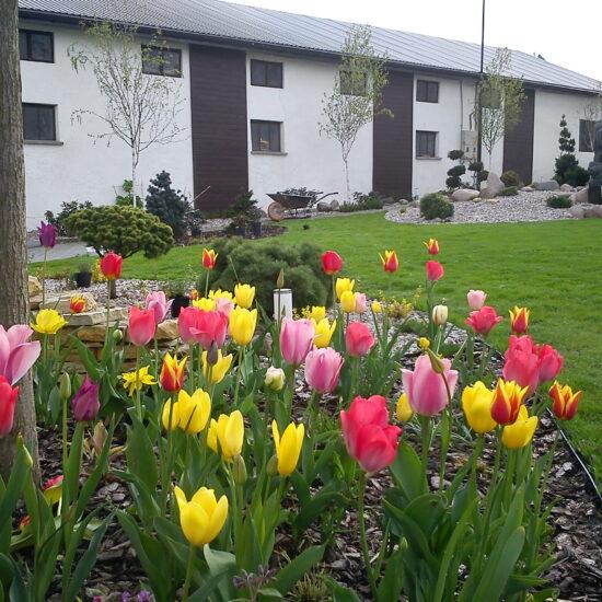 Wiejski ogród z kwitnącymi tulipanami, murkami z kamienia