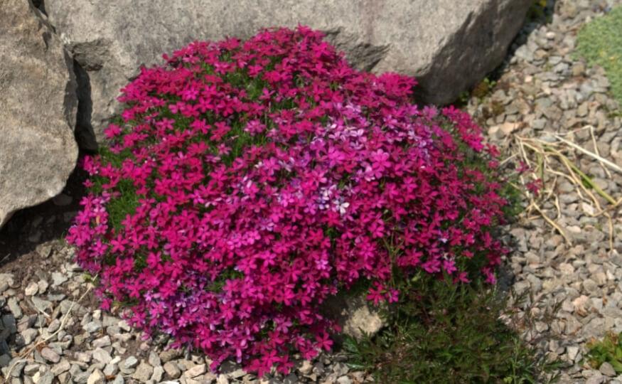 Piękny skalniak przed domem z kwiatami - Ekoland Ogrody